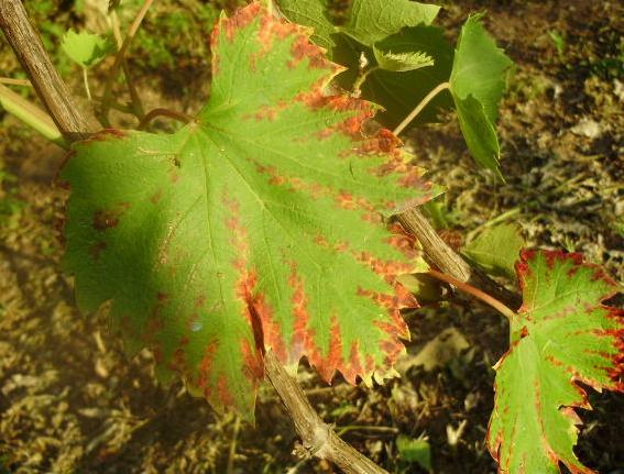 Сохнут листья винограда по краям