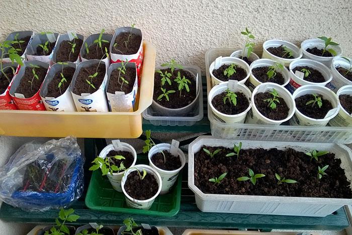 рассада томатов, подсветка рассады, температура воздуха для рассады, рассада на лоджии