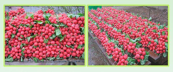 Урожайность 3-3,5 кг/м2