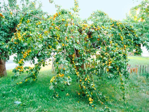 Урожайность может достигать 150 кг
