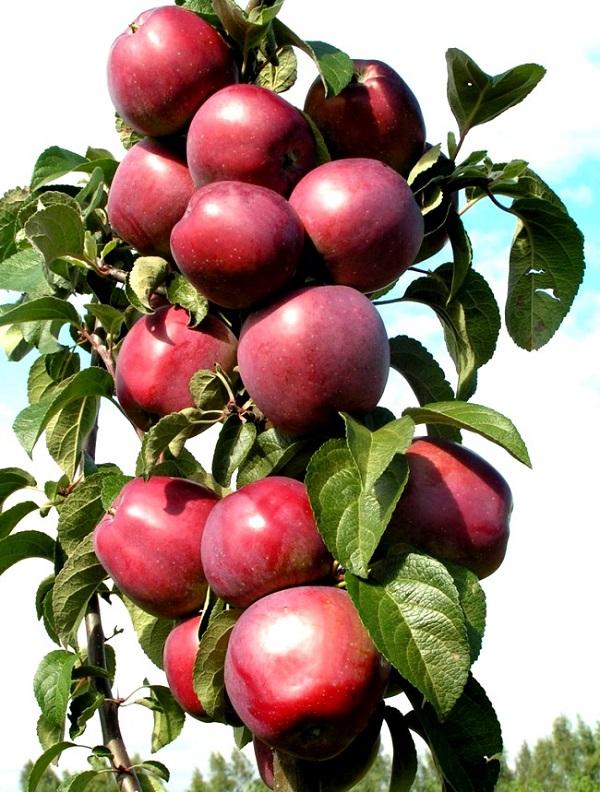Сорта яблонь для вологодской области с фото