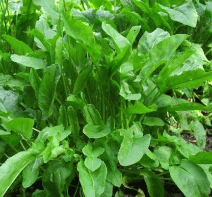 Выращивание щавеля из семян в открытом грунте - уход за посевами