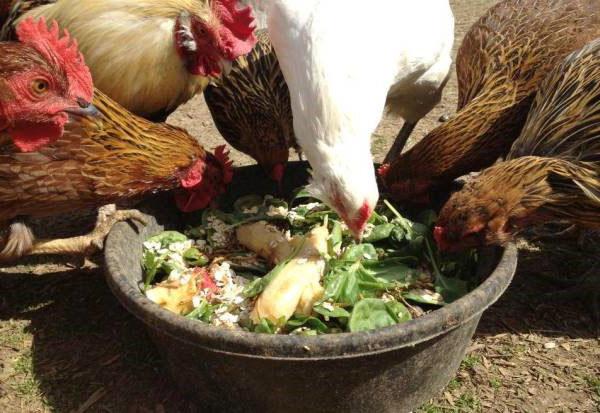 Зеленые корма для несушек