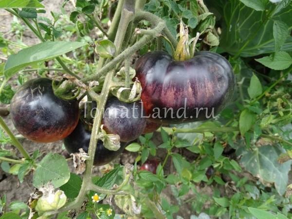 помидоры сорт Аметистовая драгоценность