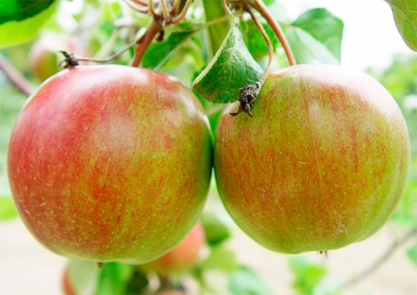 Сорт яблони Авенариус