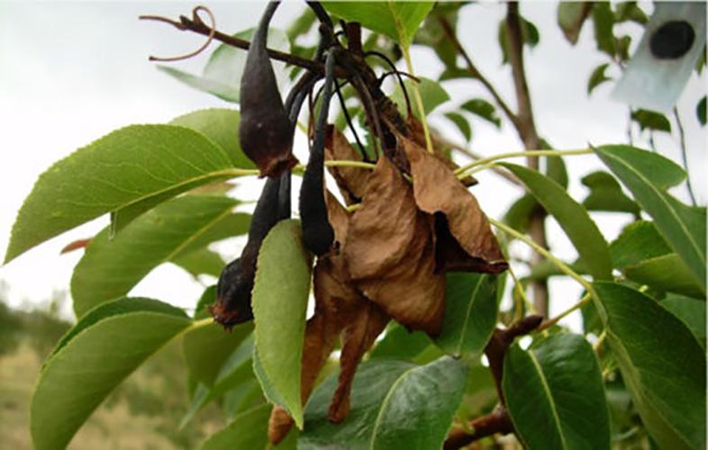 Бактериальный ожог плодового дерева