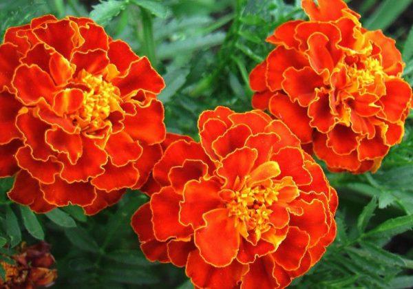 Оранжевые цветки бархатцев крупным планом, аромат этих растений отпугивает вредителей с клубники