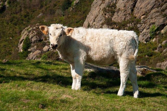 Белый теленок