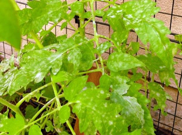 Если на помидорах появились белые пятна, следует немедленно заняться лечением
