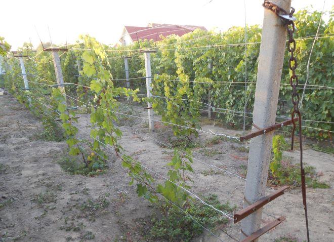 Бетонные столбы шпалеры в промышленном винограднике и молодые ветки винограда