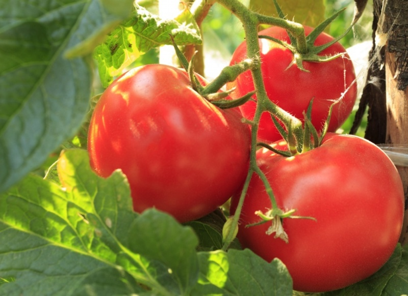 Биф томат - что это, характеристика и описание, сорт Биг Биф F1