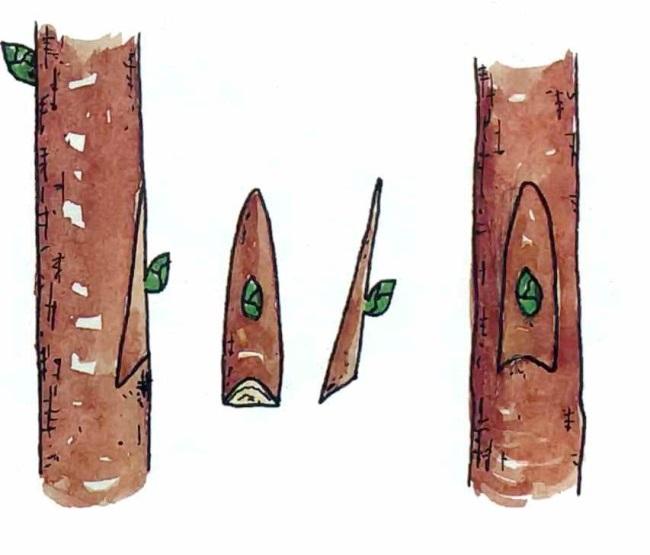 Схема выполнения прививки черешни методом бокового среза
