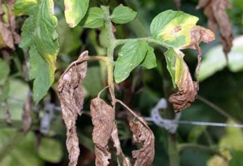 сухие листья томата