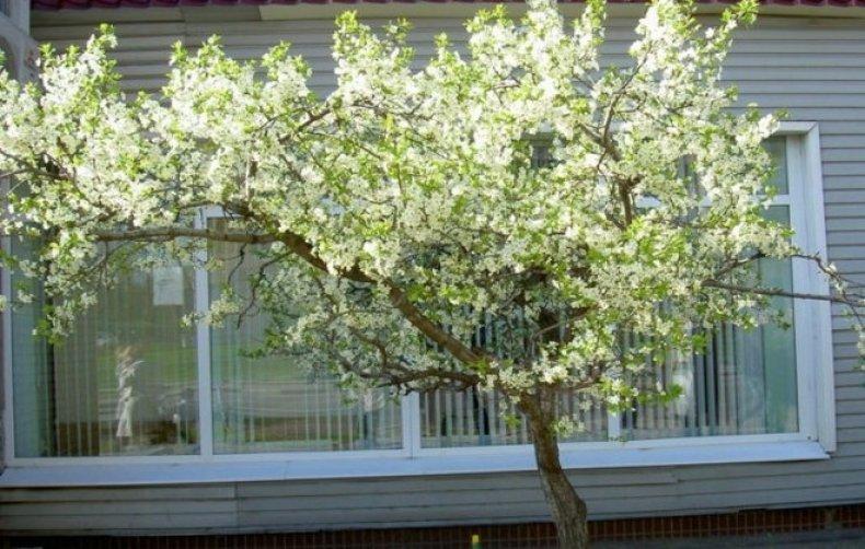 Цветущая вишня Чернокорка