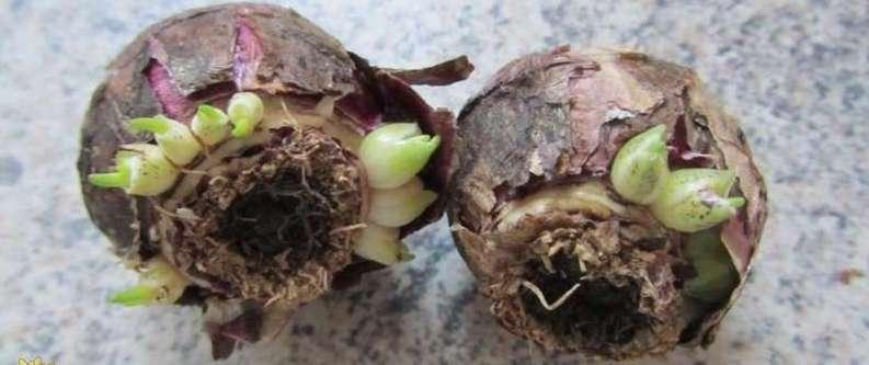 Появление маленьких луковиц