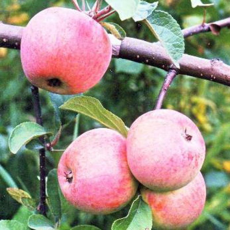 Сорт яблони Дружба народов