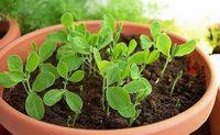 Душистый горошек - посадка из семян