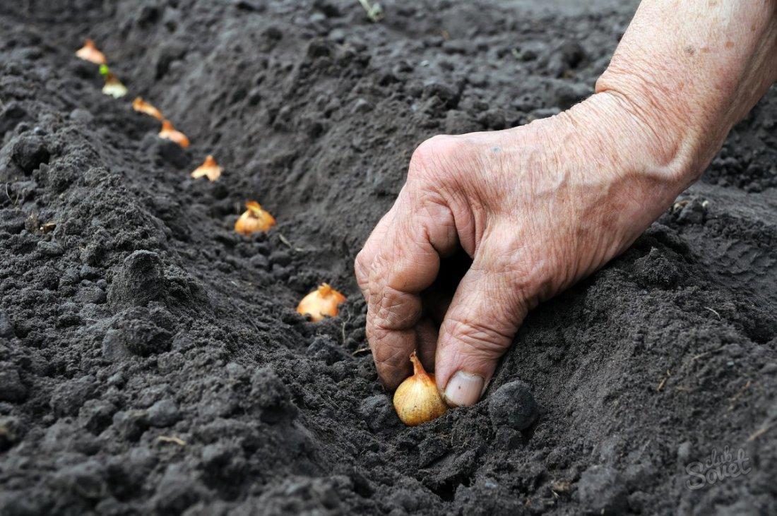 Как и когда сажать лук-севок в открытый грунт