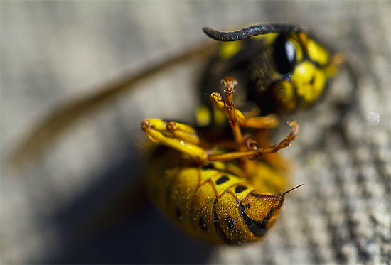 На фото видно, как выглядит жало осы