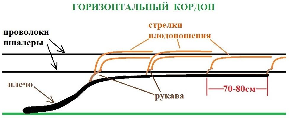 Схема формирования виноградной лозы горизонтальным кордоном с рукавами через 70–80 см