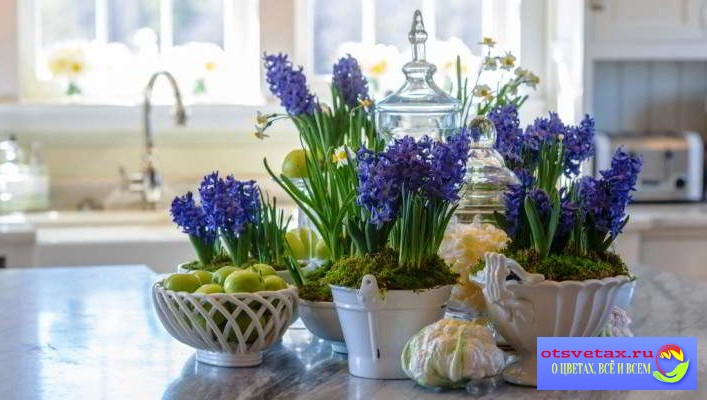 гиацинт в горшке уход в домашних условиях после цветения