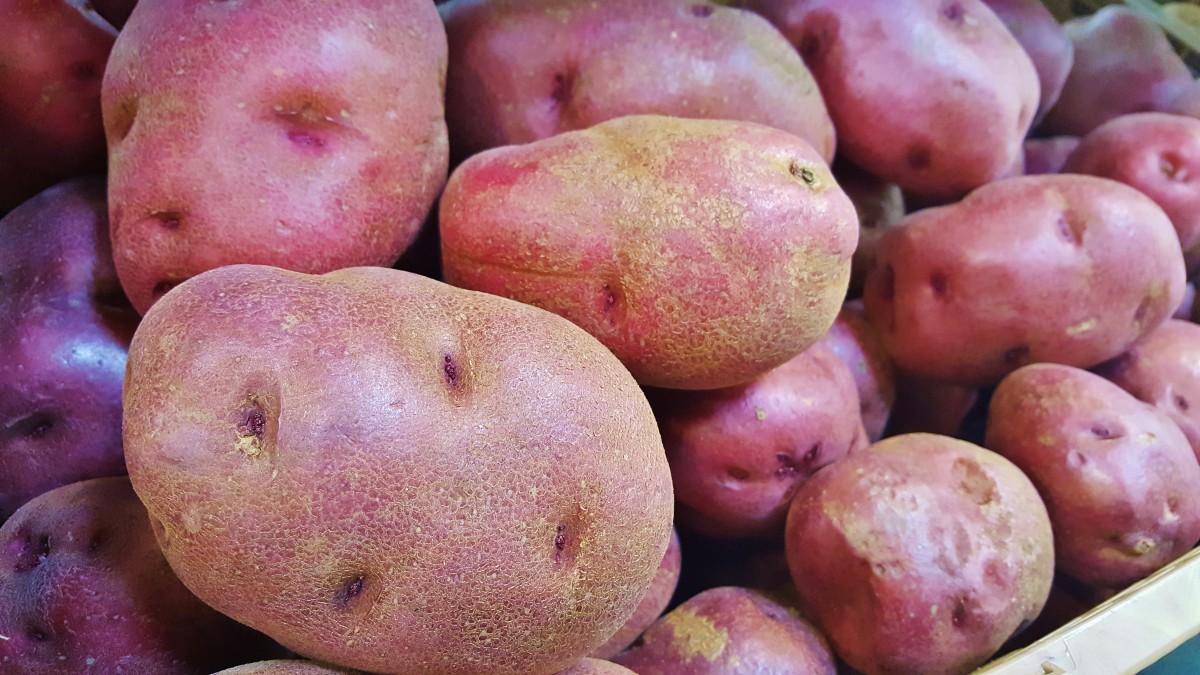 Раннее прорастание глазков на молодом красном картофеле