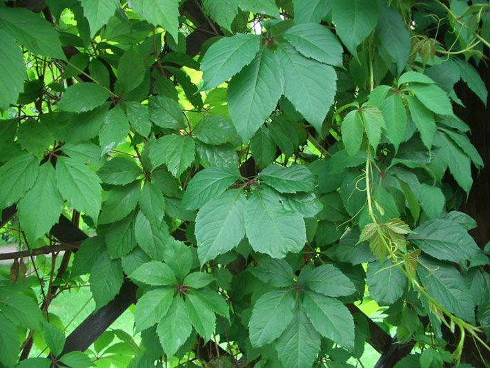 Девичий виноград пятилисточковый