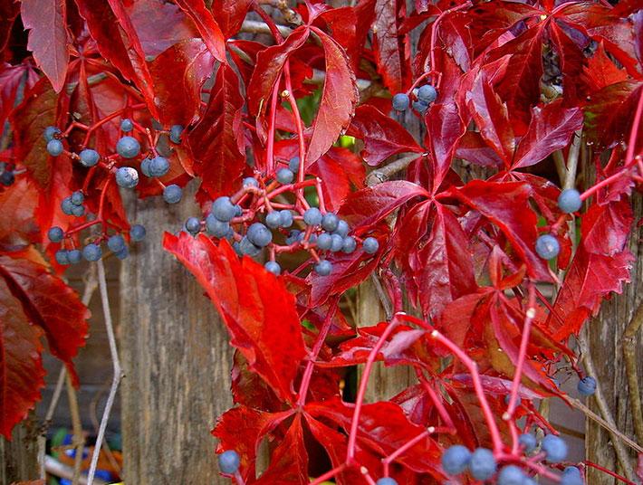 Девичий пятилисточковый виноград осенью