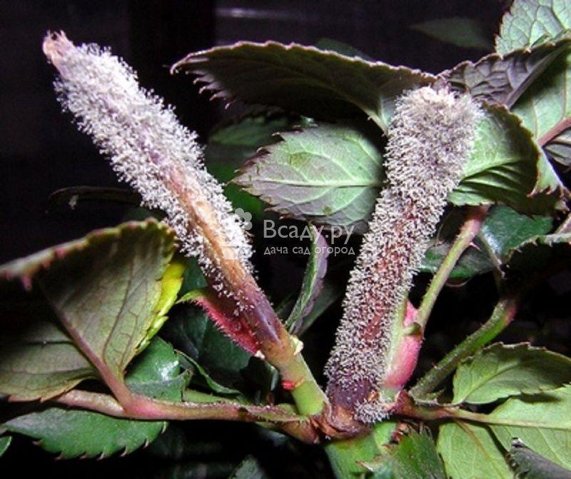 Грибковые болезни гортензии садовой - фото серой гнили