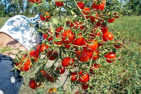 Высокорослый сорт томата «Сладкая гроздь» для выращивания в теплице: описание, характеристика, посев на рассаду, подкормка, урожайность, фото, видео и самые распространенные болезни томатов