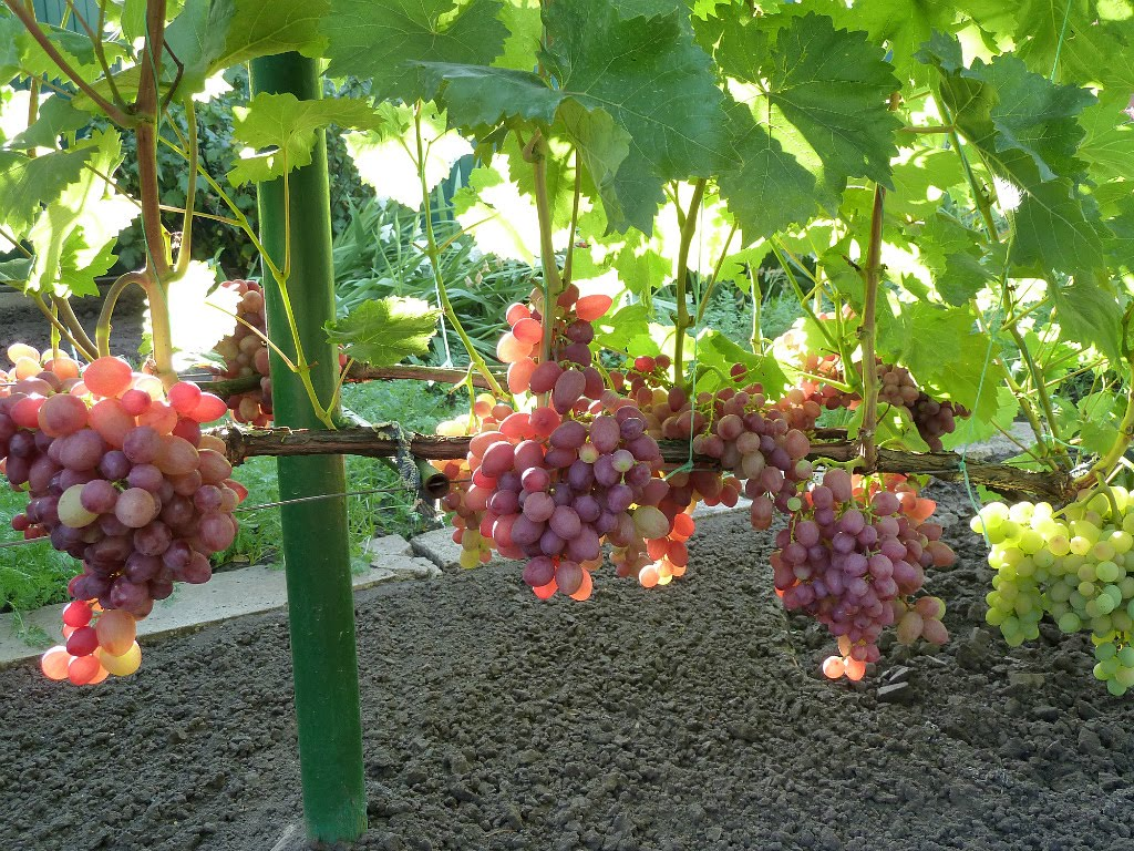 Крупные кисти винограда с темно-синими плодами удлиненной формы