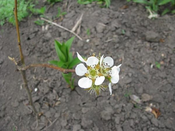 Молодое грушевое дерево цветет