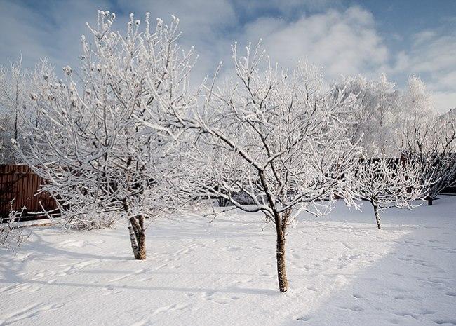 Деревья груши в зимний период со снегом на ветках
