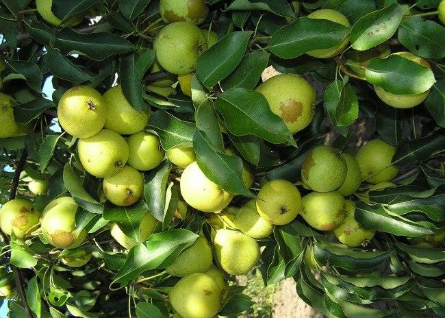 Ветки груши сорта Скороспелка из Мичуринска с плодами светло-зеленого окраса