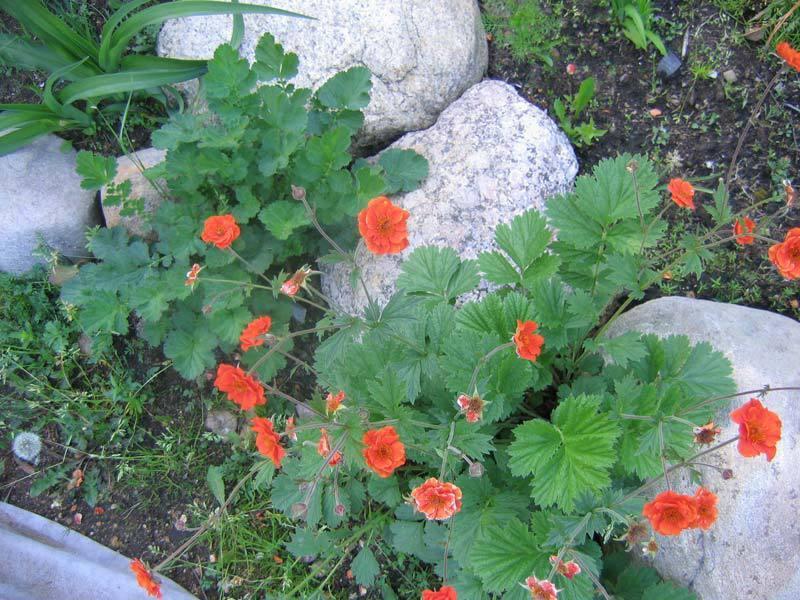 Характеристика цветка гравилат