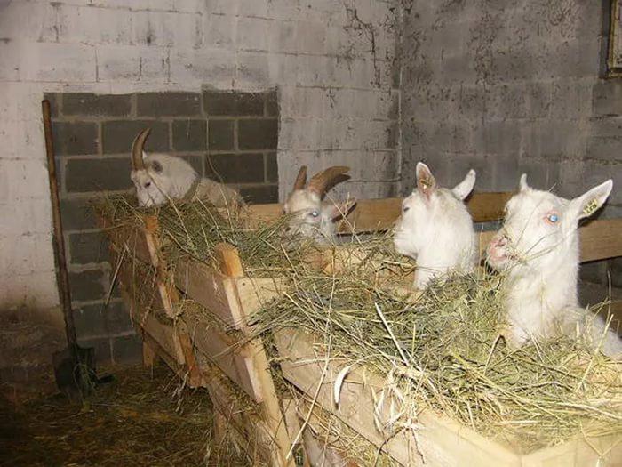 Содержание и разведение коз