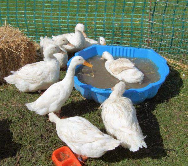 Купание - важный элемент жизни любой утки, и Агидель не исключение, однако, ей для счастья не требуется искусственный водоем, достаточно небольшого бассейна