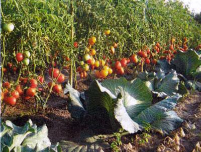 томаты в огороде