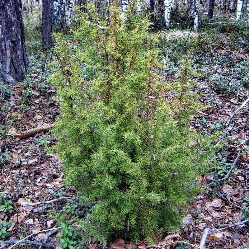Как посадить можжевельник из леса на участок