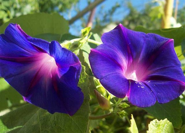 Лиана цветет