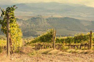 Виноград Кубань - описание сорта - фото -купить саженцы –