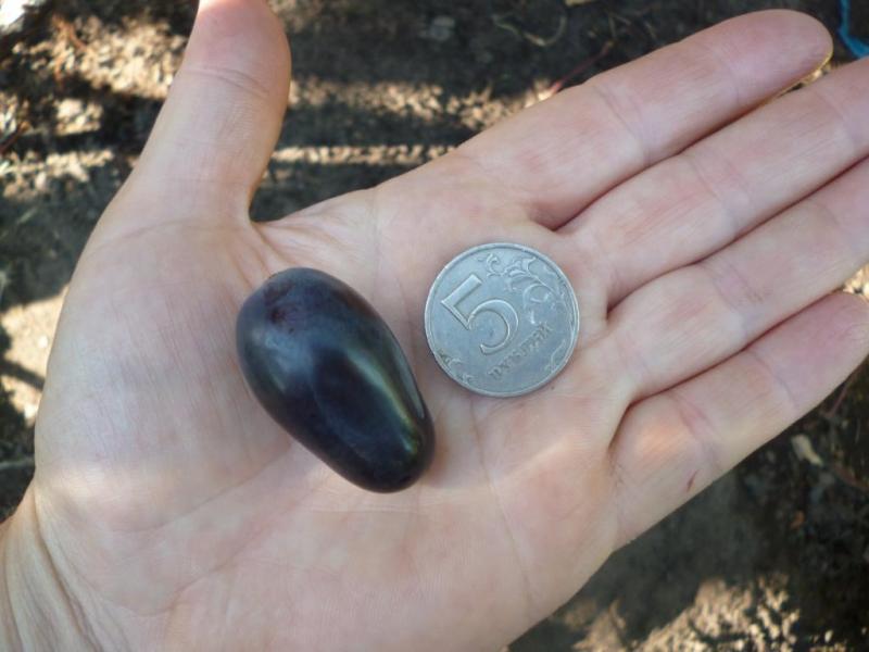 Плод винограда селекционного сорта Академик и монета на ладони садовода