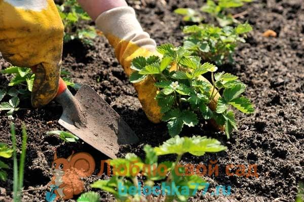 Почва и условия для выращивания клубники