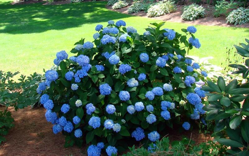 На кислых почвах с достаточным содержанием алюминия гортензия Endless Summer окрасилась в синий цвет