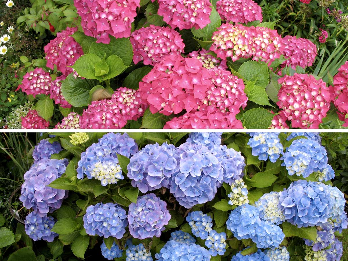 Один и тот же куст гортензии может зацвести и розовыми, и голубыми цветами