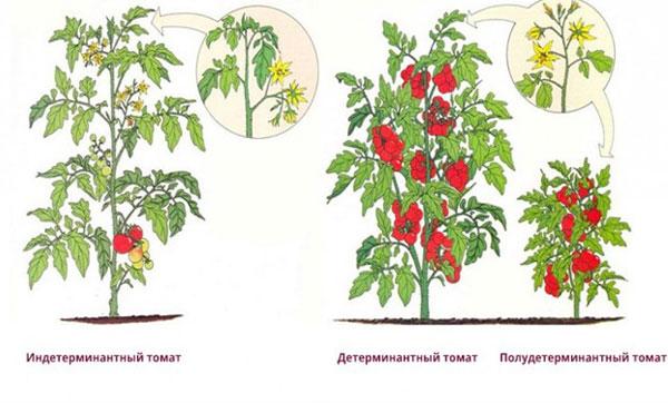 типы томатов