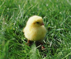Когда можно выпускать цыплят на выгул