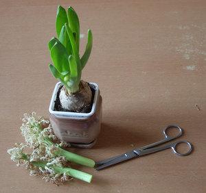 Уход за гиацинтом после цветения.