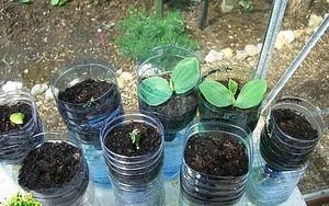 Как вырастить огуречную рассаду
