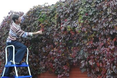Как избавиться от дикого винограда на даче и своем участке
